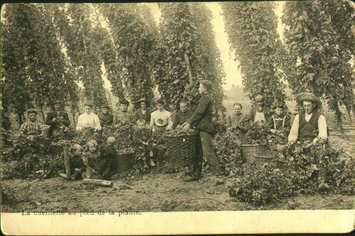 Hopplukkers op het Aalsterse platteland, 1908